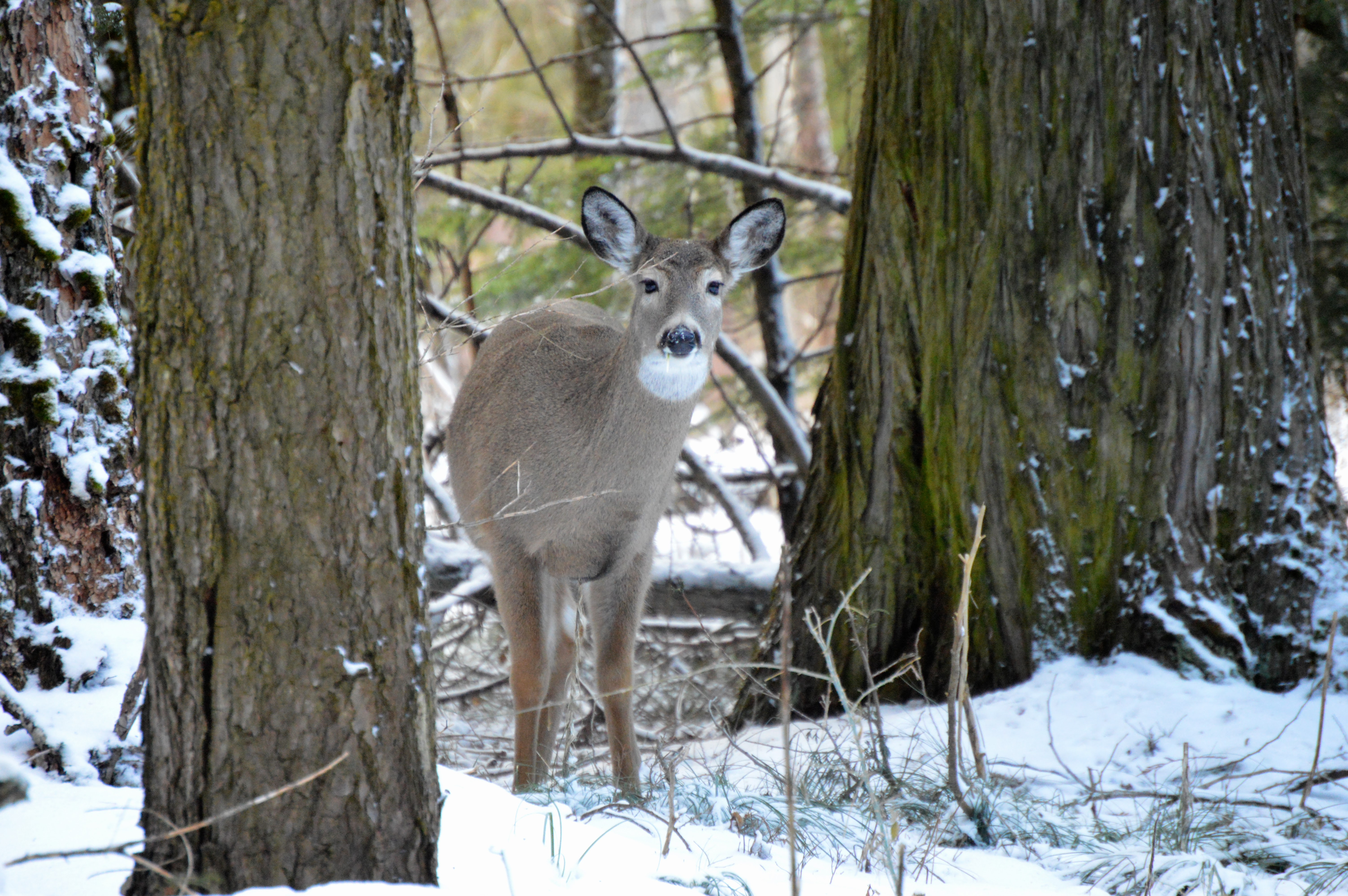 a deer walks in the snow among trees