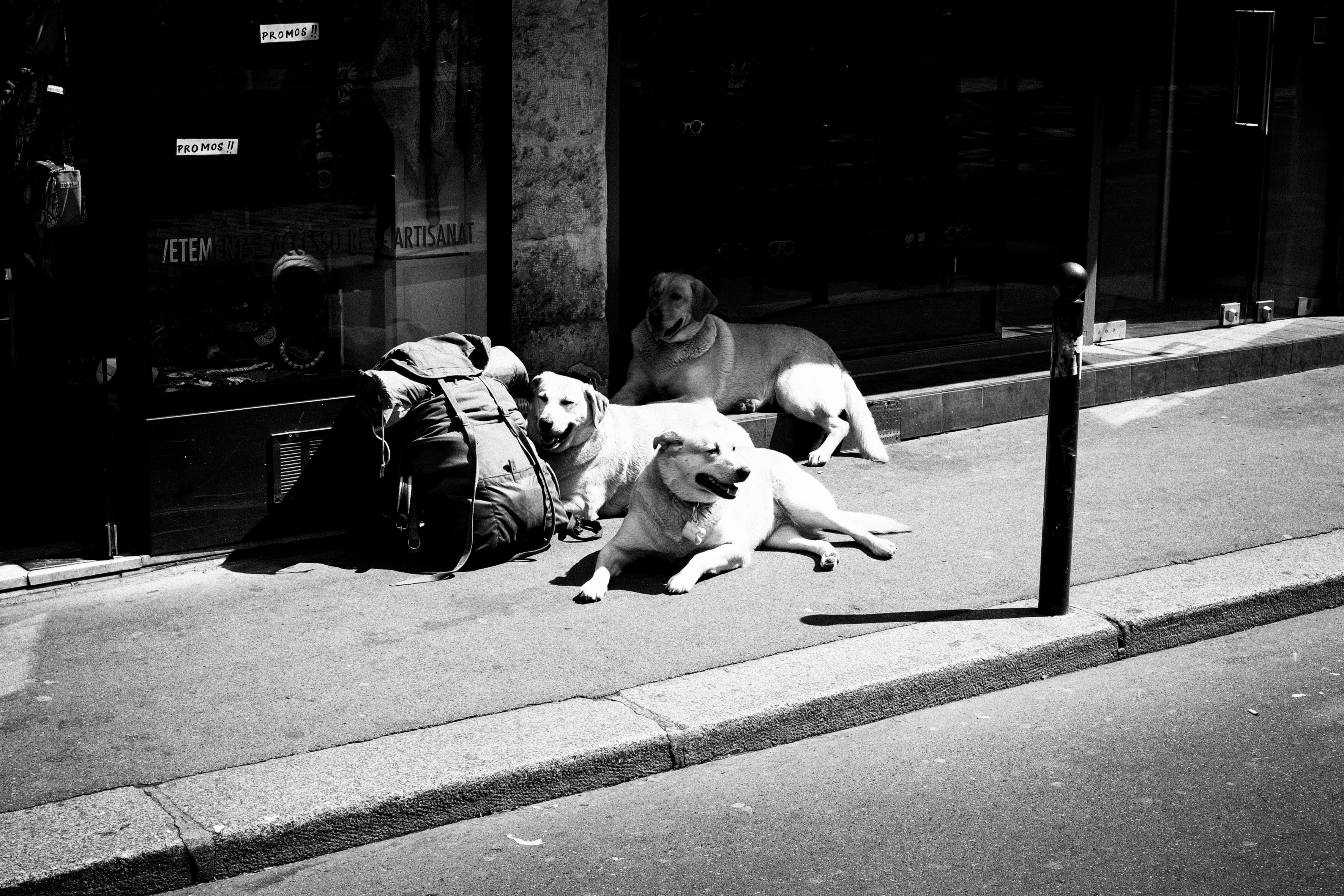 three dogs on a sidewalk rest next to a backpack in the sun